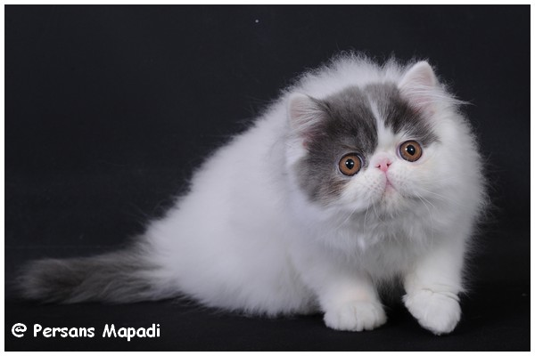 chat persan male chatterie des persans mapadi persans exotic shorthair. Black Bedroom Furniture Sets. Home Design Ideas